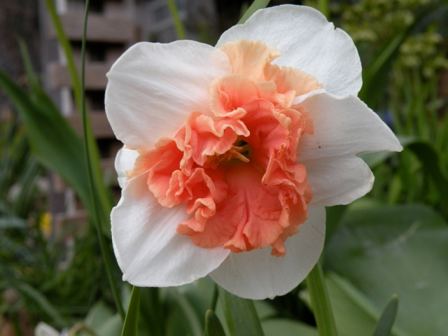 more-pink-daffodils