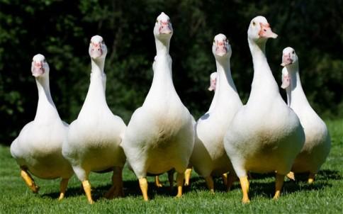 geese_2622145b